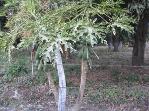 Papyas trees